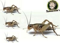 Pet Lizard Live Cricket Feeders - Alive Insect Crickets Reptile