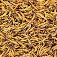 Live Superworms 50 to 5,000 - Free Shipping
