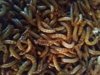 1000 Live Mealworms Feed For Reptiles, Birds, Fish & More! Free Shipping