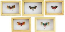 Various Cicada Beetle Taxidermy Mounted under Glass in Wooden Frame UK Seller