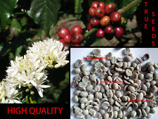 COFFEA ARABICA SEMI - Caffè Arabica TRUE SEEDS - ARABIAN COFFEE HIGH QUALITY