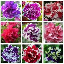 Hanging Petunia Seeds Balcony Potted Trailing Petunia Flower Seed Petunia Multic