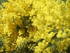 MIMOSA  ABSOLUTE-Mimosa Tenuiflora-PURE ESSENTIAL OIL UNCUT OR DILUTED.5-10%OFF!