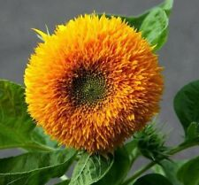 10 SEMI GIRASOLE ARANCIONE DOPPIO - SUNFLOWER ORANGE SUN DOUBLE TESTED SEEDS