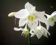 Eucharis amazonica flowering size bulb offered