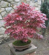 Red Japanese Maple Tree Seeds - Acer palmatum Atropurpureum 10,25,50,100,1000+