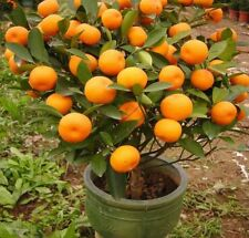 Mandarin Orange Seeds Citrus reticulata Blanco Indoor Outdoor Fruit Tree 10-100