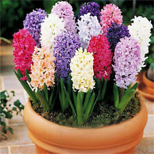 Egrow 100Pcs Hyacinth Flower Seeds Mixed Color Beautifying Garden Bonsai Potted