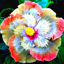 50Pcs Giant Hibiscus Flower Seeds Garden & Home Perennial Potted
