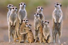 New A Mob of Meerkats Animal Photography Poster