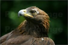 Impression sur bois Golden Eagle's Face (Aquila Chrysaetos) - Deddeda