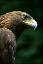 Poster Golden Eagle's Face (Aquila Chrysaetos) - Deddeda