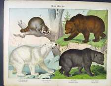 Old Antique Print Bear Polar Grizzly Raccoon German Color 196681