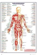 Human Body Major Anterior Muscles Poster 61x91.5cm