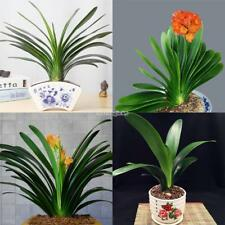 New Nice Adorable Flower Indoor Planting Fragrante Blooms Clivia Seeds SA88 02