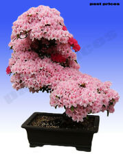 Japanese Cherry Blossoms Sakura Garden Flower Seeds, Beautiful Rare Pink