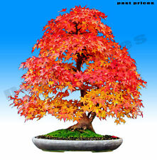 Colorful Canadian Maple Tree Seeds Mini Bonsai Plants seed (Acer Palatum)