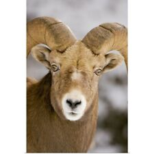 Poster Print Wall Art entitled Bighorn sheep, Maligne Canyon, Jasper National