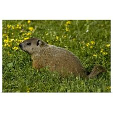 Poster Print Wall Art entitled Groundhog sitting in summer meadow, Canada