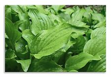 Plantain Lily Leaves Canvas Green Wet Landscape Wall Art Picture Home Decor