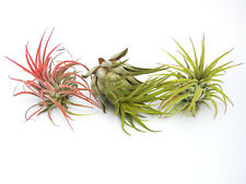 TILLANDSIA Air Plant Indoor House Plant flower for gift present special ionantha