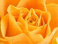 86968 NATURE FLOWER YELLOW ROSE Decor WALL PRINT POSTER FR