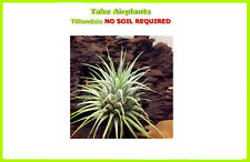 TILLANDSIA Ionantha Air Plant Indoor House Plant flower for gift present special