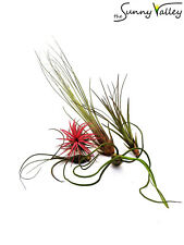 TILLANDSIA air plant indoor house gift for a special occasion no soil