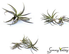 TILLANDSIA Air Plant Indoor House Plant flower for gift present special harrissi