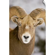 Wall Decal entitled Bighorn sheep, Maligne Canyon, Jasper National Park,