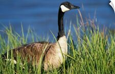 Wall Decal entitled Canada Goose (Branta Canadensis) In Tall Grass