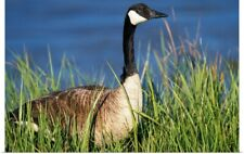 Poster Print Wall Art entitled Canada Goose (Branta Canadensis) In Tall Grass