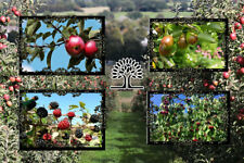 NON GMO Fruit Tree Seeds Pack Cherry Apple Pear Mulberry USA Free Shipping US