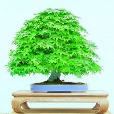Japanese Green Maple Tree Bonsai Garden Seeds (Acer Palatum)