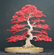 Japanese Red Maple Tree Bonsai Garden Seeds (Acer Palatum)