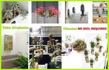 TILLANDSIA Air Plant Indoor House Plant flower for gift present special ocassion