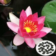10pcs Nymphaea Sunshine Princess Lotus Seed Garden Red Water Lily Plant