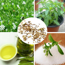 50pcs Stevia Rebaudiana Seeds Sweetleaf Natural Sweetener