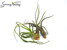 TILLANDSIA AIR PLANT INDOOR HOUSE PLANT AIRPLANT NO SOIL REQUIRED set of three