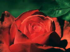 115201 NATURE FLOWER ROSE RED ROMANTIC HOME Decor WALL PRINT POSTER FR
