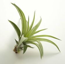 TILLANDSIA Air Plant Indoor House Plant flower airplant multiflora gift present