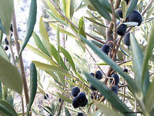 OLEA EUROPAEA, Genuine Olive Fresh Seeds from Turkey From Grower, Bonsai