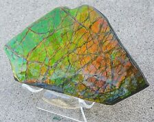 1126.5 Ct Canada Fossil Korite Ammolite RARE Gem Rough Fossil Stand Blue Green