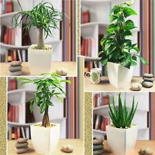 1 Stylish House Plant @ Gloss White Milano Square Pot Patio Garden Office Oxygen