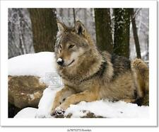 Woodland Pride Montana Art Wolfe Photograph Wolf Wolves Print Poster 18x24