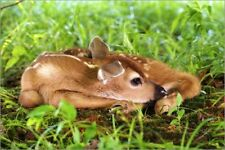 Cuadro sobre lienzo Young deer fawn - Adam Jones