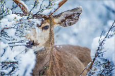 Aluminio-Dibond Mule Deer in Winter