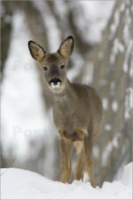 Aluminio-Dibond Roe deer in winter - Duncan Shaw