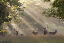 Aluminio-Dibond Deer in morning mist - Stuart Black