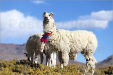 Aluminio-Dibond Decorated llamas in the highlands of the Andes - Jutta Riegel